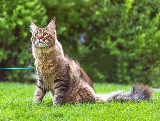 walking cats on a leash is it a bad idea shocking answers. Black Bedroom Furniture Sets. Home Design Ideas
